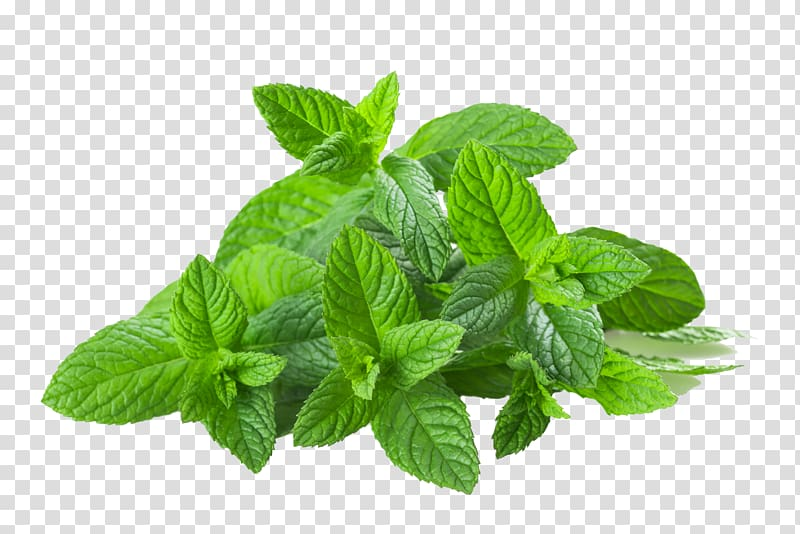 Peppermint plant clipart clipart royalty free download Mentha spicata Water Mint Food Herbaceous plant Fat, mint ... clipart royalty free download