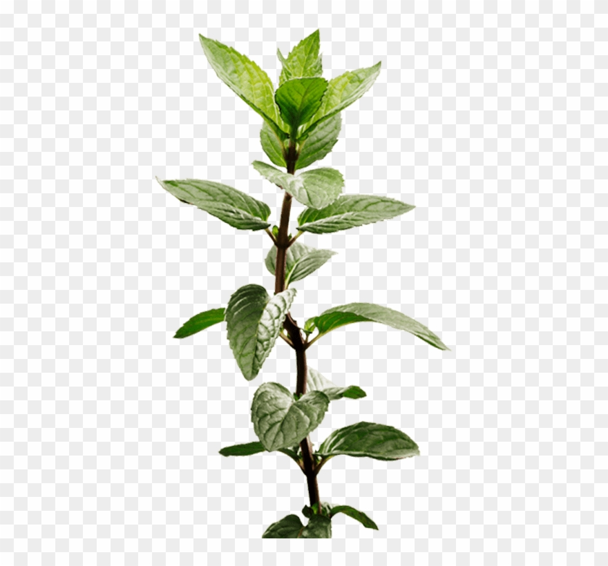 Peppermint plant clipart vector stock Peppermint Plant Image - Mint Plant Transparent Clipart ... vector stock