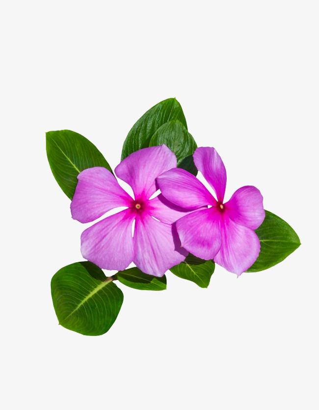 Perriwinkle clipart svg transparent Periwinkle Flower Png & Free Periwinkle Flower.png ... svg transparent