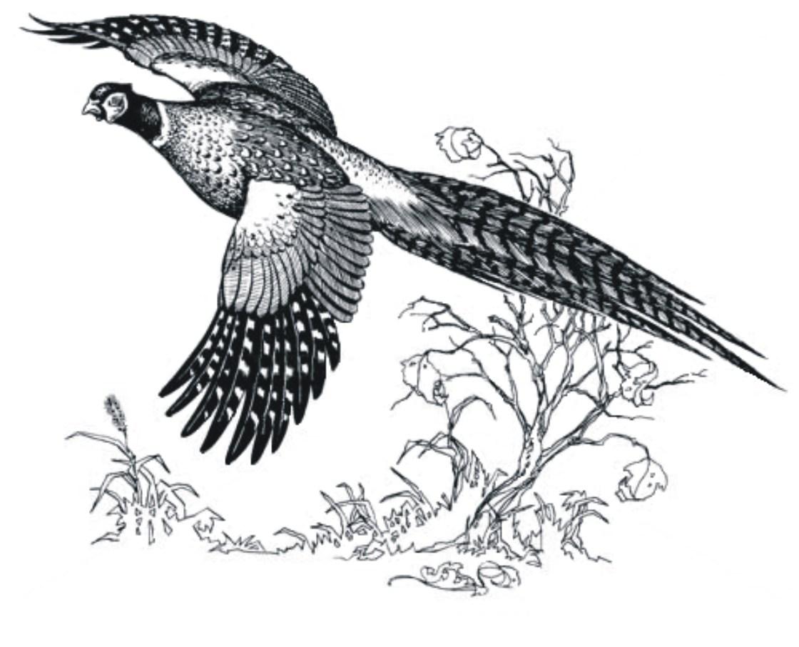Pheasant hunting clipart jpg library Pheasant hunting clipart 2 » Clipart Portal jpg library