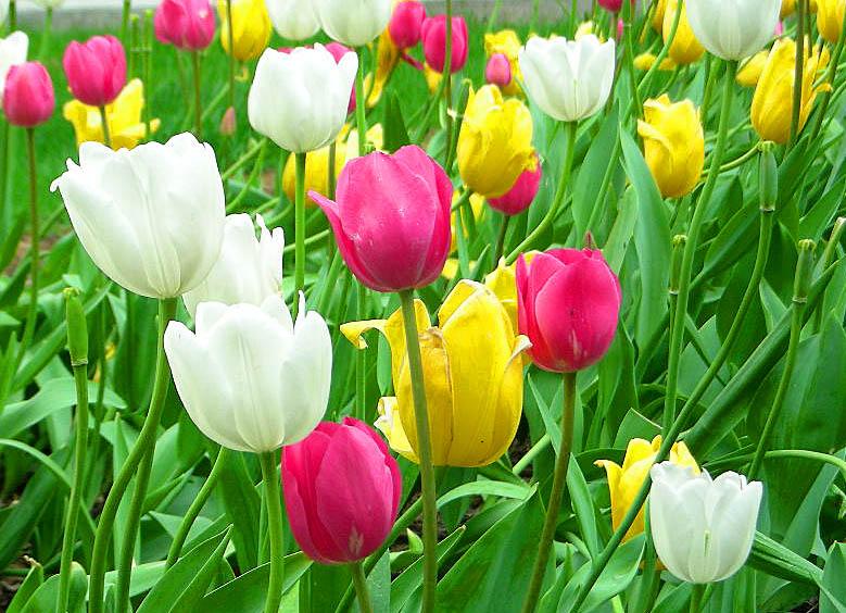 Photos of tulip flowers