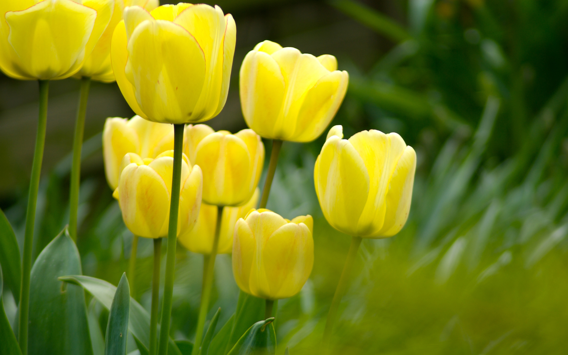 Photos of tulip flowers png transparent stock Tulip Flowers HD Wallpapers free download png transparent stock