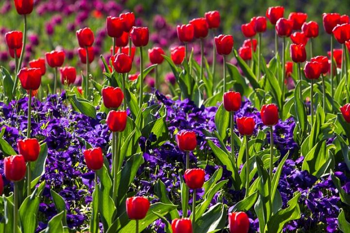 Photos of tulip flowers banner library library Tulips: How to Plant, Grow, and Care for Tulip Flowers | The Old ... banner library library