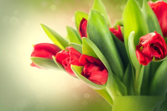 Photos of tulip flowers clipart transparent library Tulip Flower Meaning - Flower Meaning clipart transparent library