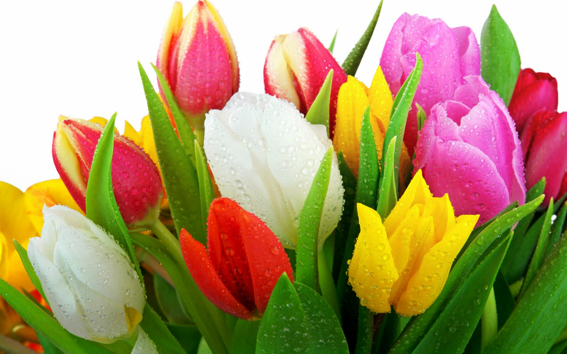Photos of tulip flowers jpg royalty free download Tulip flowers pics - ClipartFest jpg royalty free download