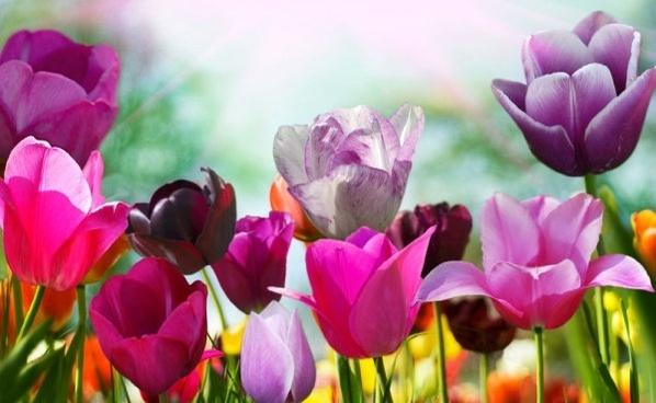 Photos of tulip flowers image freeuse stock Free tulip flower images free stock photos download (10,980 Free ... image freeuse stock