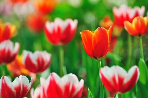 Photos of tulip flowers png royalty free stock Free tulip flower images free stock photos download (10,980 Free ... png royalty free stock