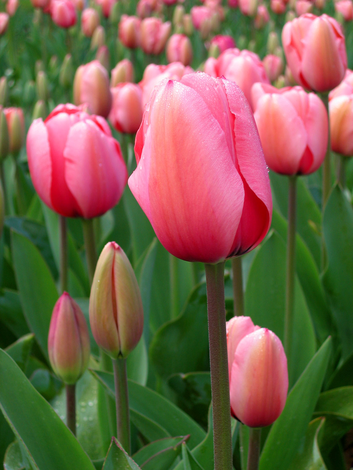 Photos of tulip flowers freeuse download Tulip - Wikipedia freeuse download