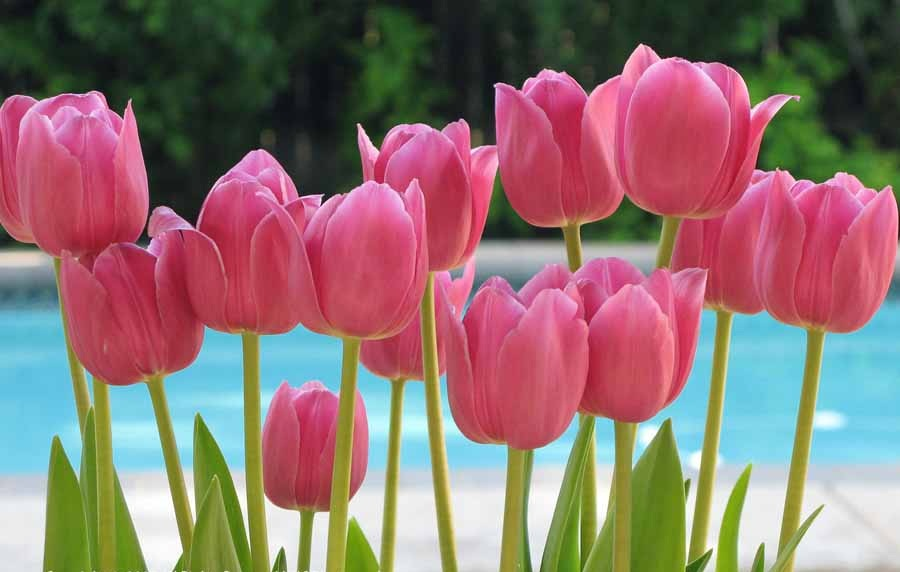 Photos of tulip flowers graphic freeuse stock Picture of tulip flower - ClipartFest graphic freeuse stock