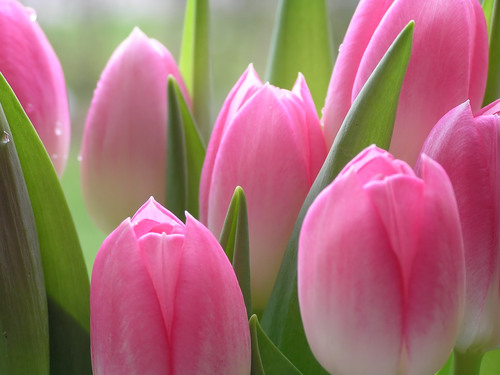 Photos of tulip flowers banner freeuse library Tulip Flowers Photos - Infodik.net banner freeuse library