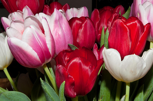 Photos of tulip flowers banner freeuse library Tulip Flower - Pink, Purlpe, & White Tulip Flowers banner freeuse library