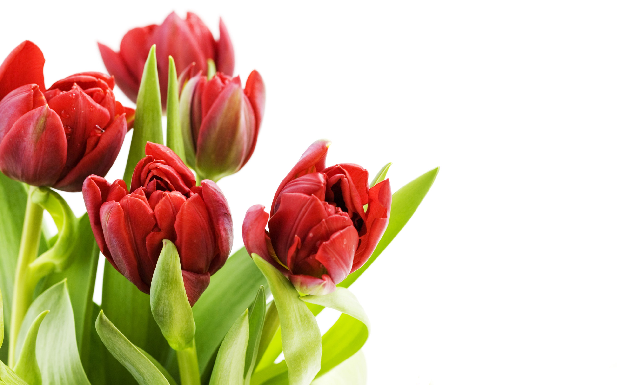Photos of tulip flowers png transparent library Tulip Flowers HD Wallpapers free download png transparent library