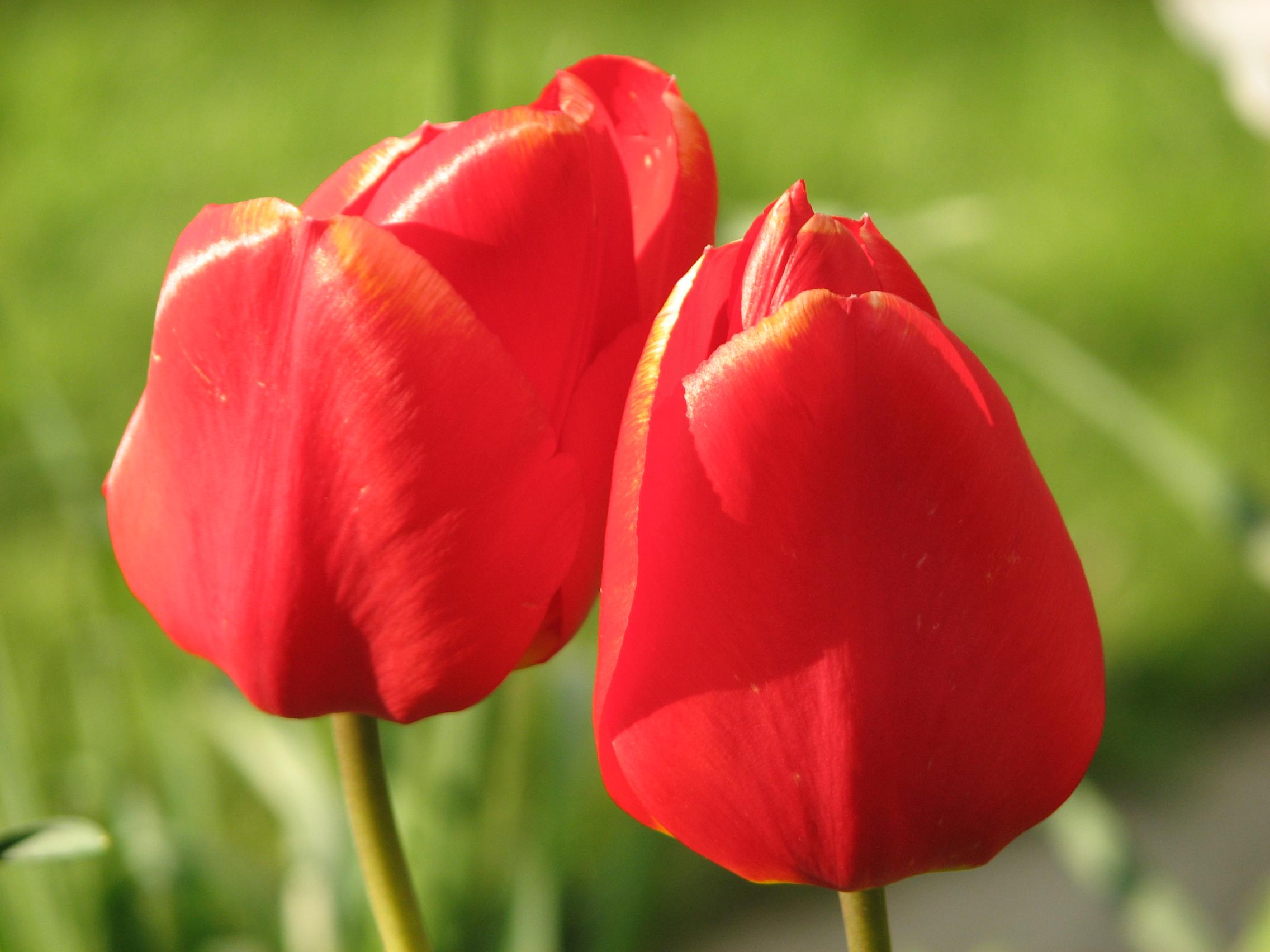 Photos of tulip flowers picture transparent Tulip flowers pics - ClipartFest picture transparent