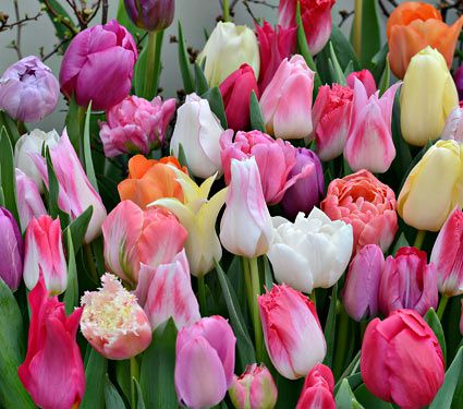 Photos of tulip flowers vector stock Tulip Mixes & Collections | White Flower Farm vector stock