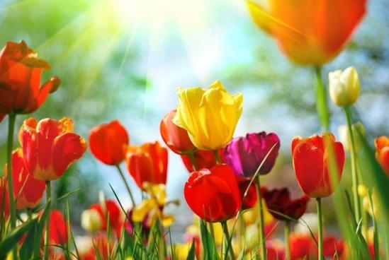Photos of tulip flowers jpg stock Free tulip flower images free stock photos download (10,971 Free ... jpg stock
