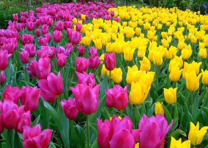 Photos of tulip flowers graphic free Tulip Flowers Wallpaper (15 Photos) | funmag.org graphic free