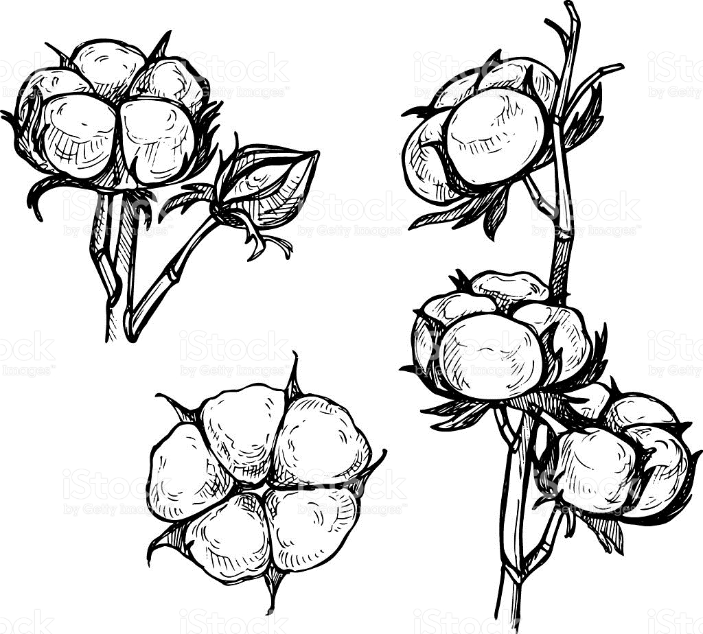 Picking cotton plant black and white clipart banner freeuse stock Cotton Plant Sketch at PaintingValley.com | Explore ... banner freeuse stock