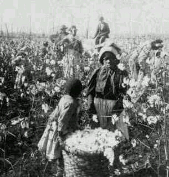 Picking cotton plant black and white clipart picture transparent library Slaves picking cotton | Slavery Photos | History, Black ... picture transparent library