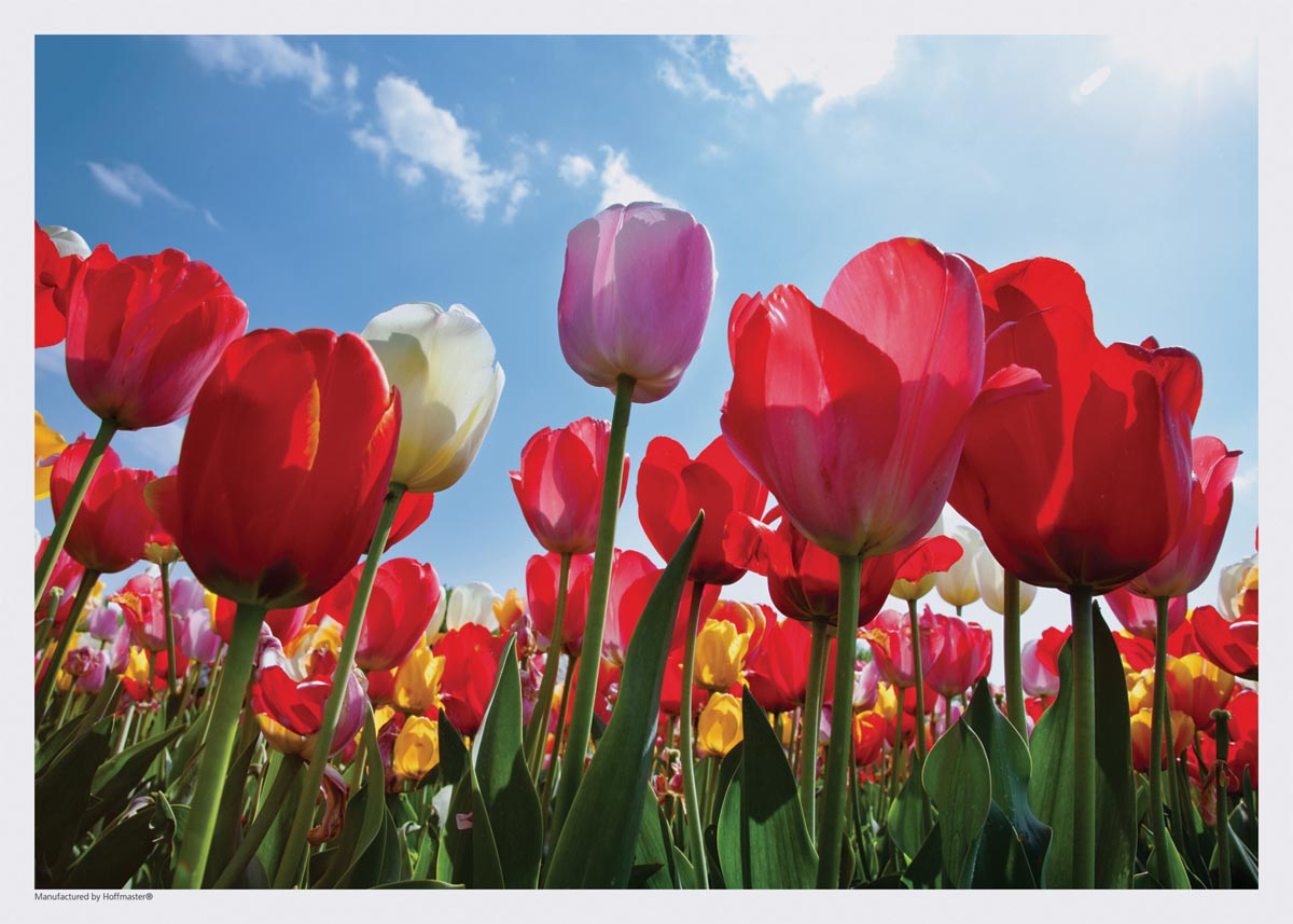 Picture of may flowers graphic free 1600x1200px Red Tulips Flowers   #506514 graphic free