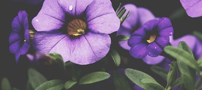 Picture of violets flowers graphic freeuse library 13 Popular Funeral Flower Meanings » Urns | Online graphic freeuse library
