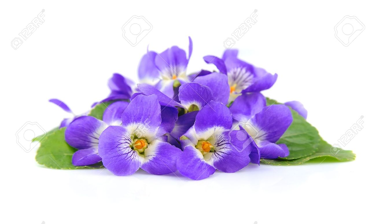 Picture of violets flowers clipart freeuse Violets Flowers Close Up On White Stock Photo, Picture And Royalty ... clipart freeuse