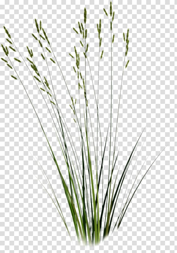 Pictures of tall grass with flowers clipart png freeuse download Green grass , Tallgrass prairie Sweet Grass Plant , grass ... png freeuse download