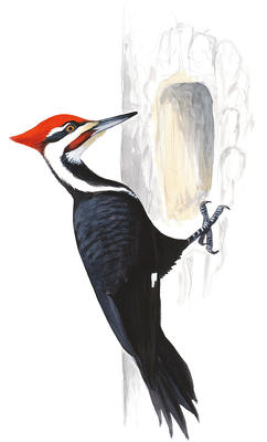 Pileated woodpecker clipart clip art free library Pileated Woodpecker | John James Audubon\'s Birds of America clip art free library