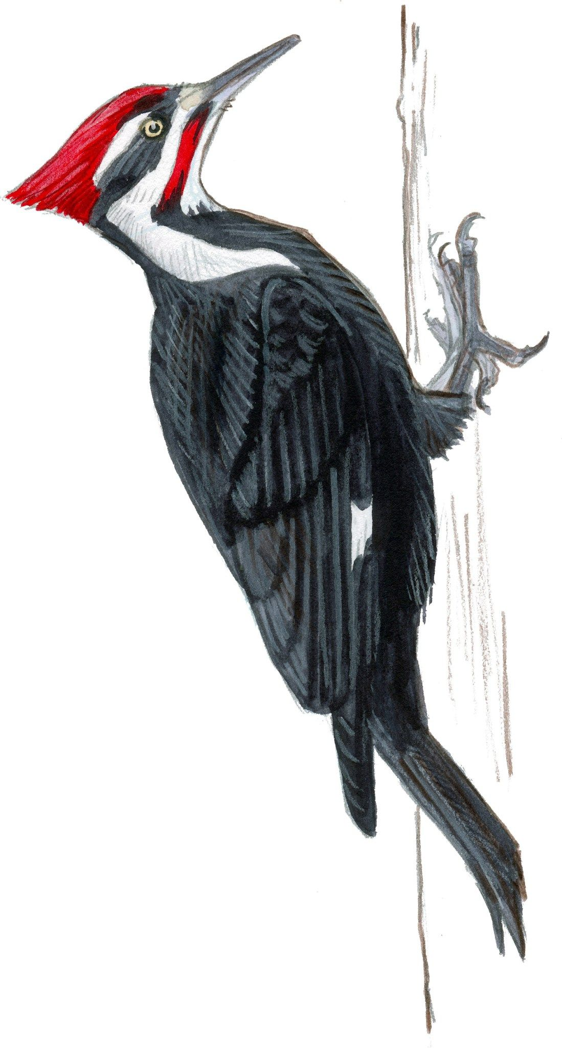 Pileated woodpecker clipart png royalty free library Pileated Woodpecker Drawing at PaintingValley.com | Explore ... png royalty free library
