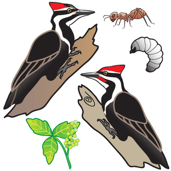 Pileated woodpecker clipart graphic transparent download Pileated Woodpecker Life Cycle Clip Art Set graphic transparent download