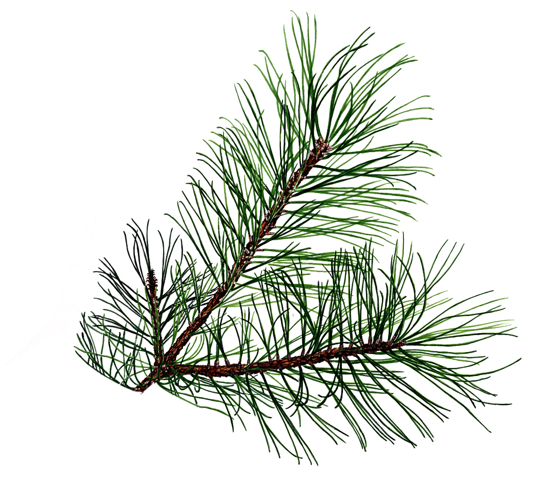 Pine tree branch clipart graphic library stock drawings of pine cones and pine boughs | Shared By: melinda 04-21 ... graphic library stock