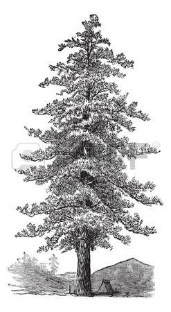 Pine tree illustration clipart image black and white Pine Tree Cliparts, Stock Vector And Royalty Free Pine Tree ... image black and white