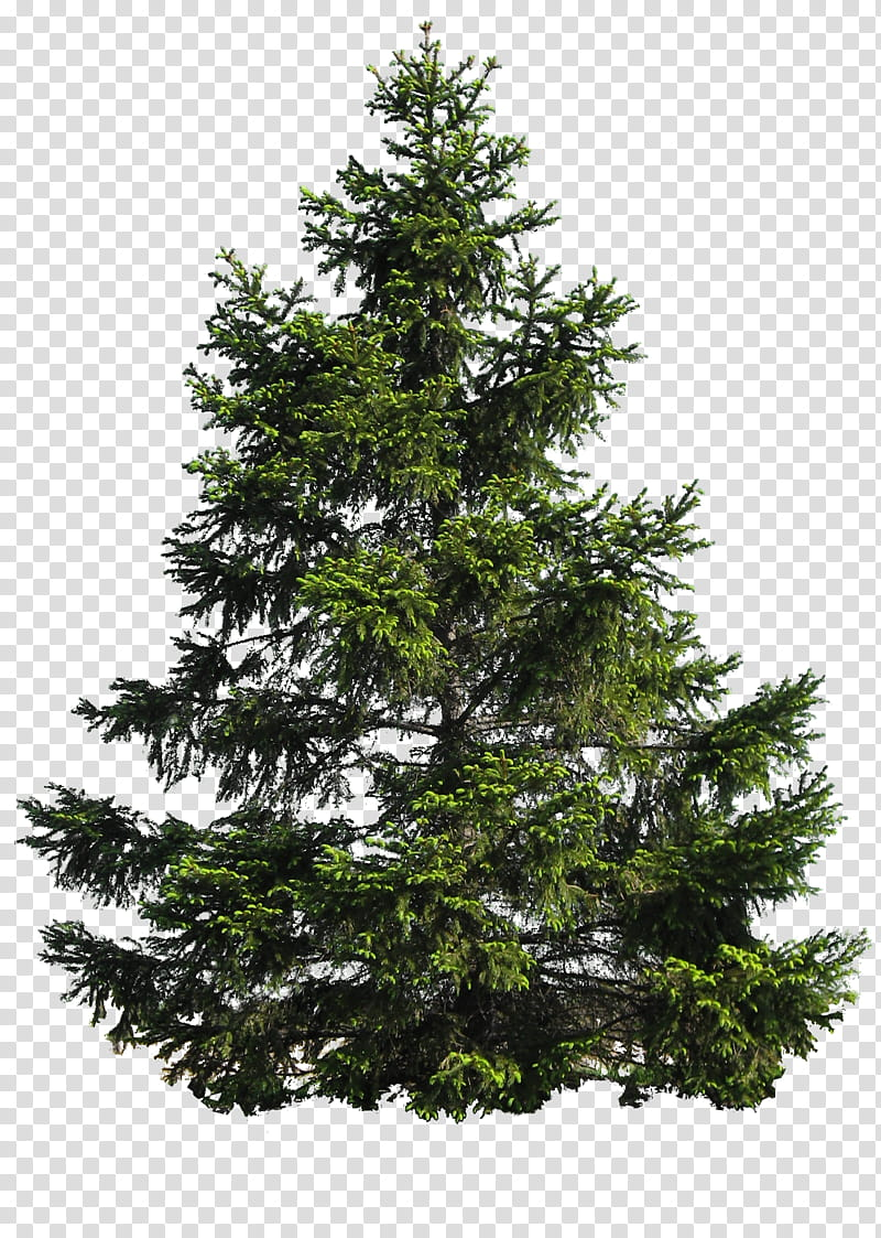 Pine tree illustration clipart graphic black and white PINE TREE, pine tree illustration transparent background PNG ... graphic black and white