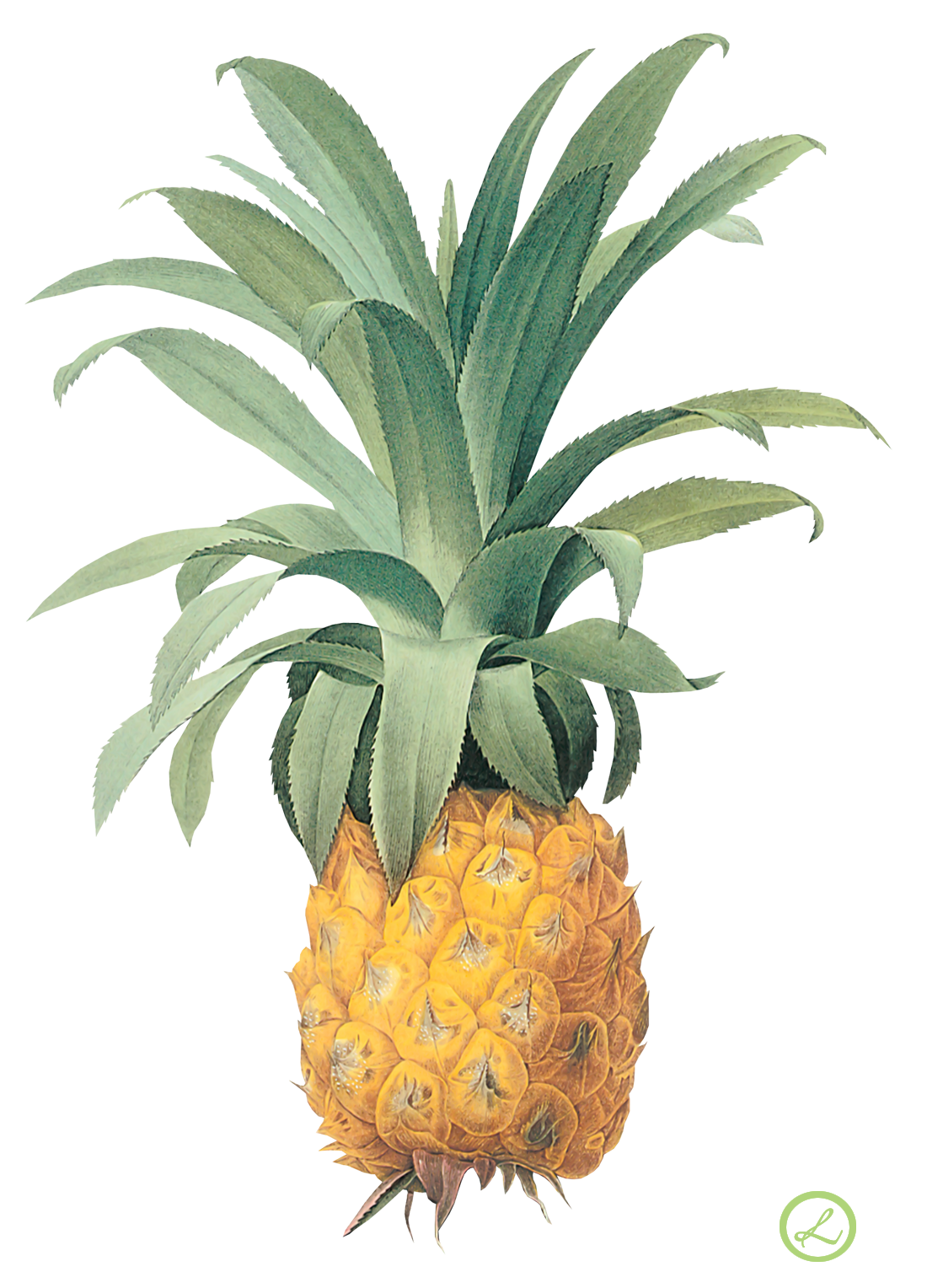 Pineapple flower clipart svg Pineapple Twenty-four | Isolated Stock Photo by noBACKS.com svg