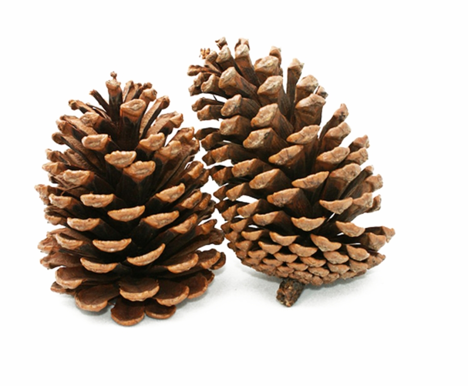 Pinecone clipart svg transparent library Pine Cone Png Background Image - Pine Cone Clipart - pine ... svg transparent library
