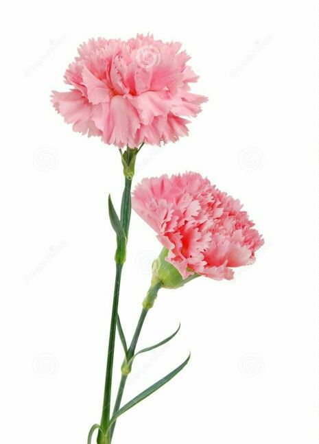 Pink carnation clipart svg library library Palermo   art inspo   Pink carnations, Flowers, Carnations svg library library