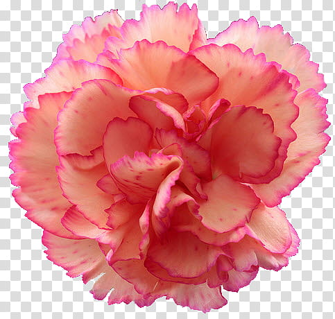 Pink carnation clipart picture stock Carnation , pink carnation flower transparent background PNG ... picture stock