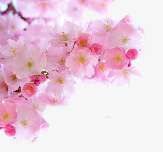 Pink cherry blossoms clipart vector black and white Pink Cherry Blossom Branches PNG, Clipart, Blossom Clipart ... vector black and white