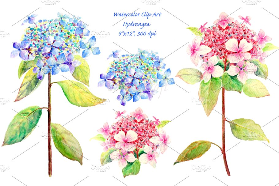 Pink hydrangea clipart png black and white Watercolor Blue and Pink Hydrangea png black and white