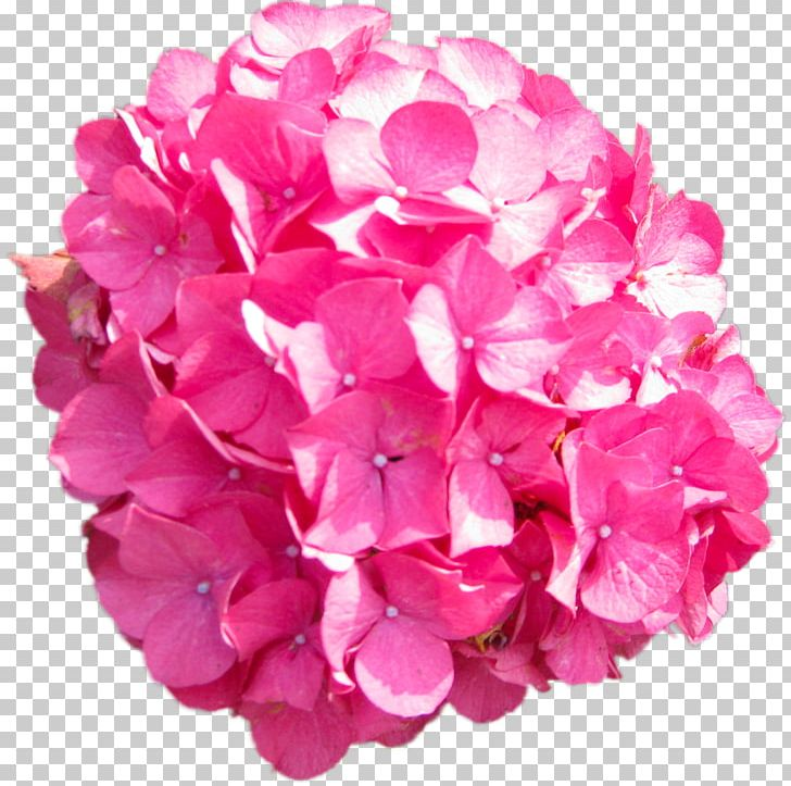 Pink hydrangea clipart clip art free Hydrangea Pink PNG, Clipart, Animaatio, Cornales, Cut ... clip art free