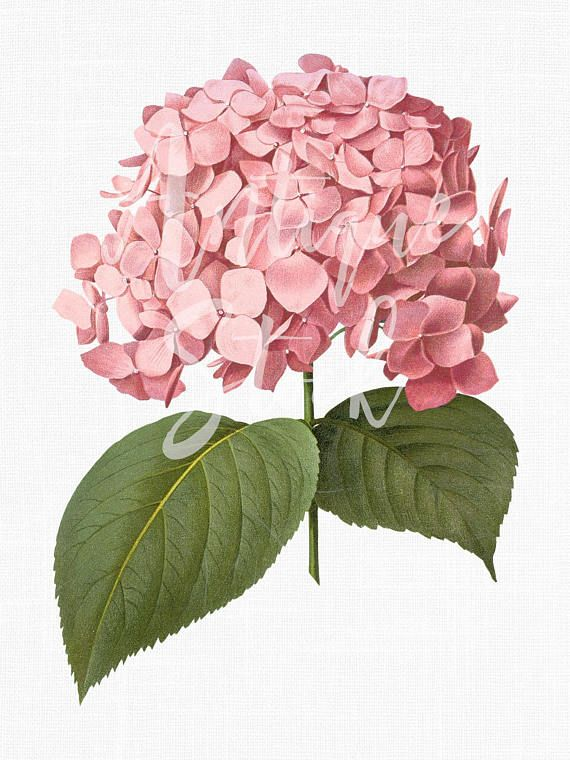 Pink hydrangea clipart picture royalty free library Flower Clipart \'Pink Big Leaf Hydrangea\' Botanical ... picture royalty free library