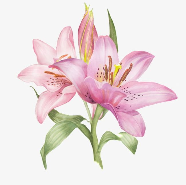 Pink lily clipart image black and white stock Pink Lily PNG, Clipart, Backgrounds, Beauty In Nature ... image black and white stock