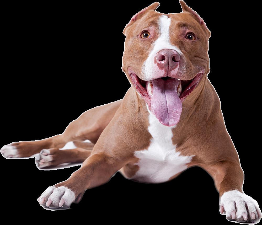 Pitbull dog clipart svg black and white dog pitbull freetoedit - Sticker by helgajanine1978 svg black and white