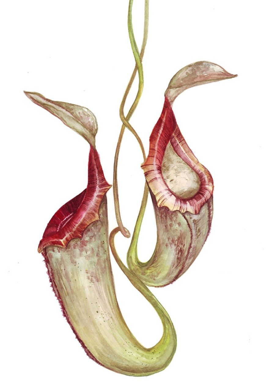 Pitcher plant clipart clip art transparent library pitcher plant | Illustration nation in 2019 | Watercolor ... clip art transparent library