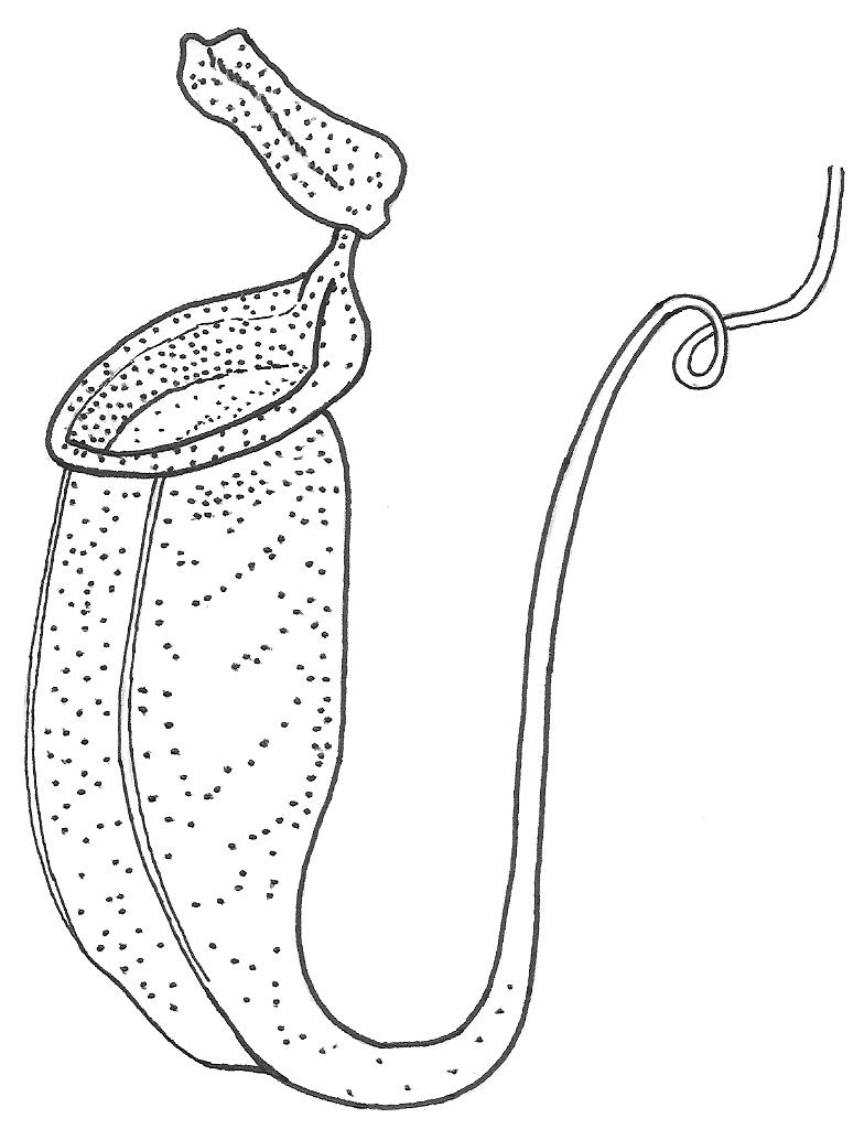Pitcher plant clipart clip free stock carnivorous wonders : simplebooklet.com clip free stock