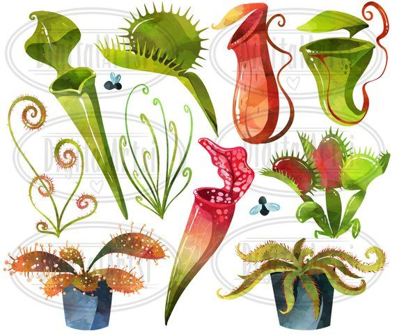 Pitcher plant clipart clipart free stock Watercolor Carnivorous Plants Clipart - Pitcher Plants ... clipart free stock