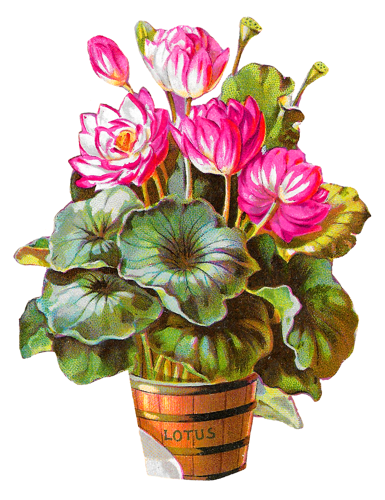 Plant a flower clipart jpg Antique Images: Royalty-Free Lotus Flower Potted Plant Barrel ... jpg