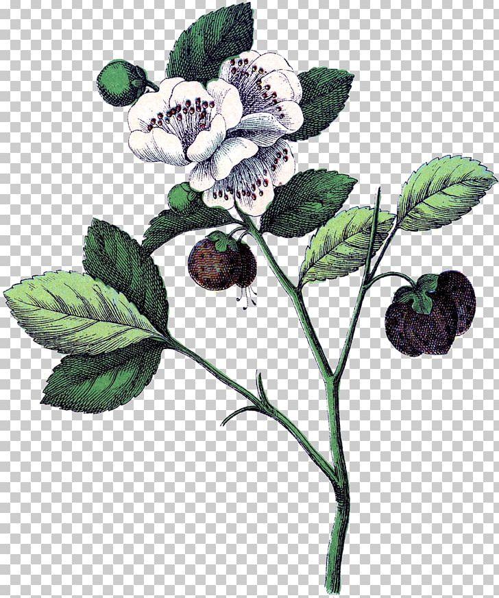 Plant anatomy clipart svg freeuse stock Botanical Illustration Strawberry Botany Flower Plant ... svg freeuse stock