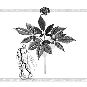Plant grayscale clipart clip art freeuse download Grayscale plant ginseng - vector clipart clip art freeuse download