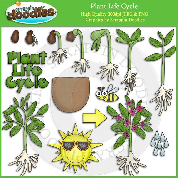 Plant life clipart svg freeuse library Plant life cycle clipart 3 » Clipart Station svg freeuse library