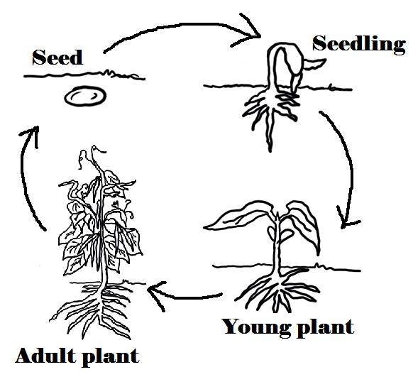 Plant life cycle clipart jpg library library Plant Life cycles - Teamwork 6 Class Blog jpg library library